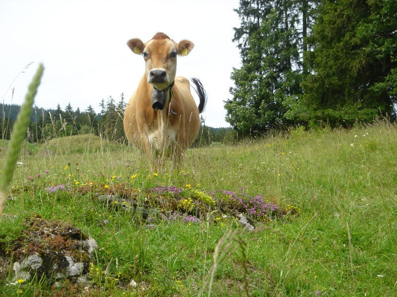 swiss cow