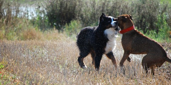 Dogs' fighting
