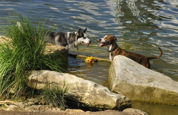 Two dogs meet at Town Lake