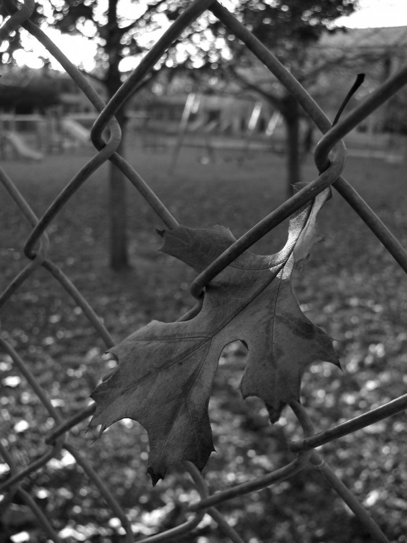 Leaf hung in chainlink fence, Victoria, Texas