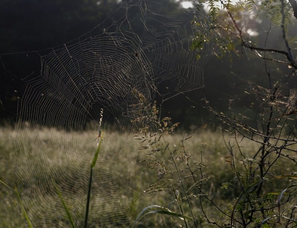 Spider web, morning