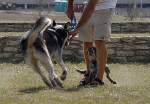 Dogs playing at Town Lake dog park