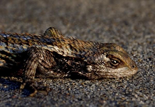 Lizard on walkway, side view