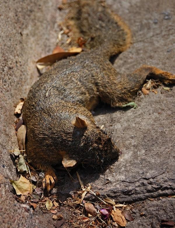 Dead squirrel in front of church, Cuero, Texas