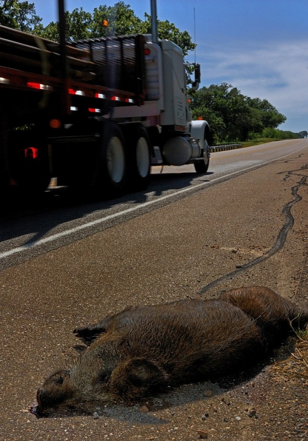 Dead Javelina road kill near Cuero, Texas