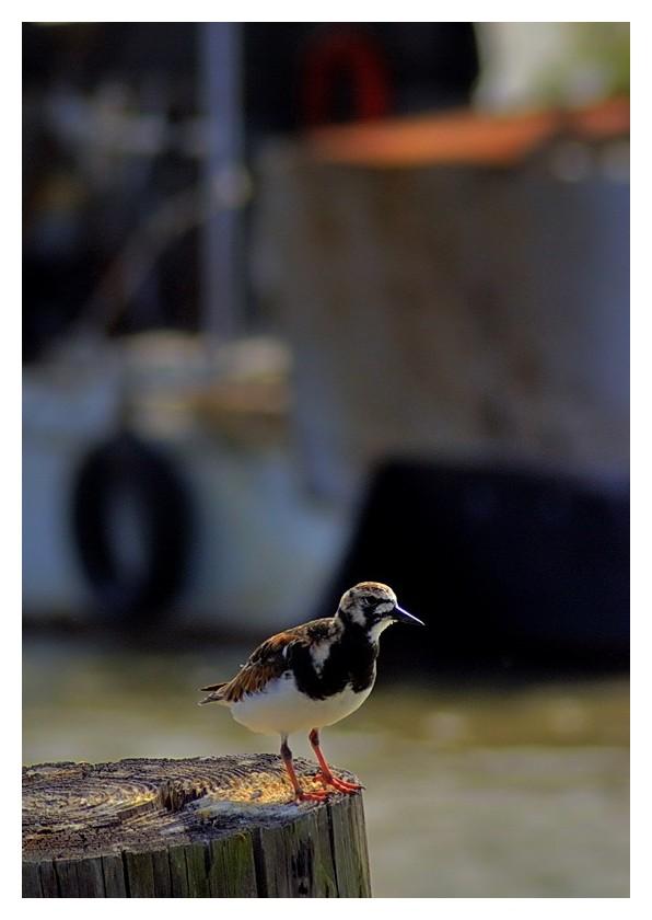 Bird on piling, Seadrift, Texas