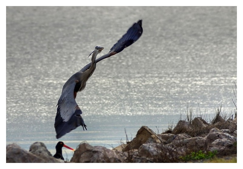 Heron on the wing, Seadrift, Texas