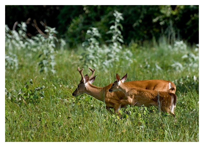Dad and baby deer running, Goose Island State Park