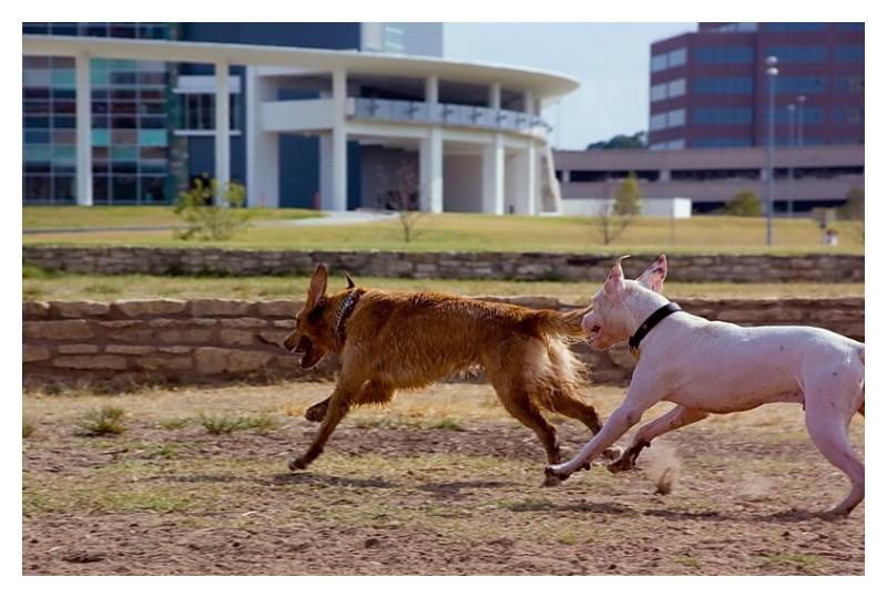 Dogs playing, Townlake, Austin