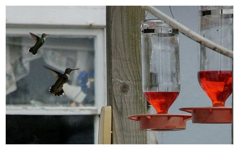 Humming birds at backyard feeder