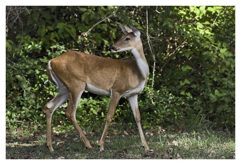 Whitetail Doe, Goose Island State Park