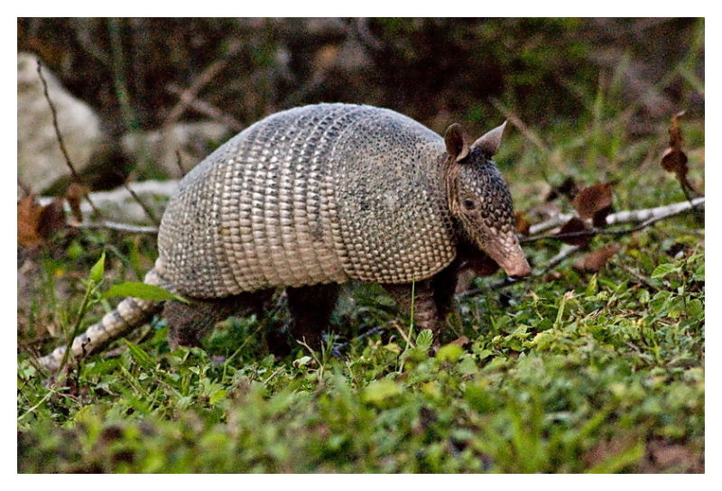 9 Banded Armadillo, Palmetto State Park