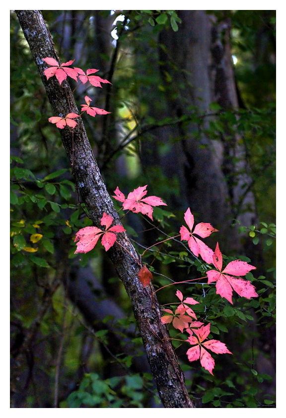 More Oak Leaves, Palmettto State Park