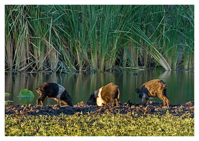 Feral pigs at pond, ANWF