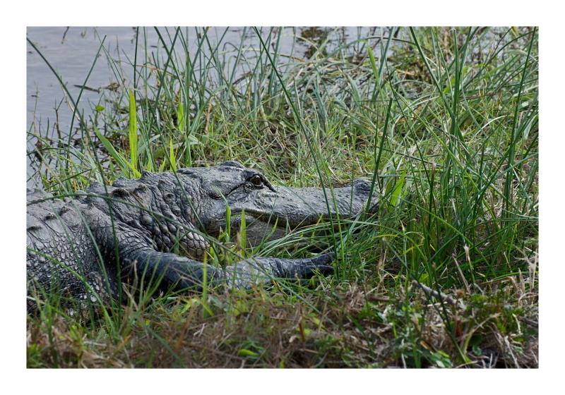 Alligator in ANWR