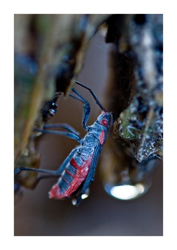 Water bug drinking water