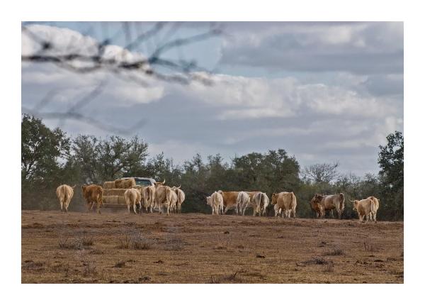 Rancher bringing hay