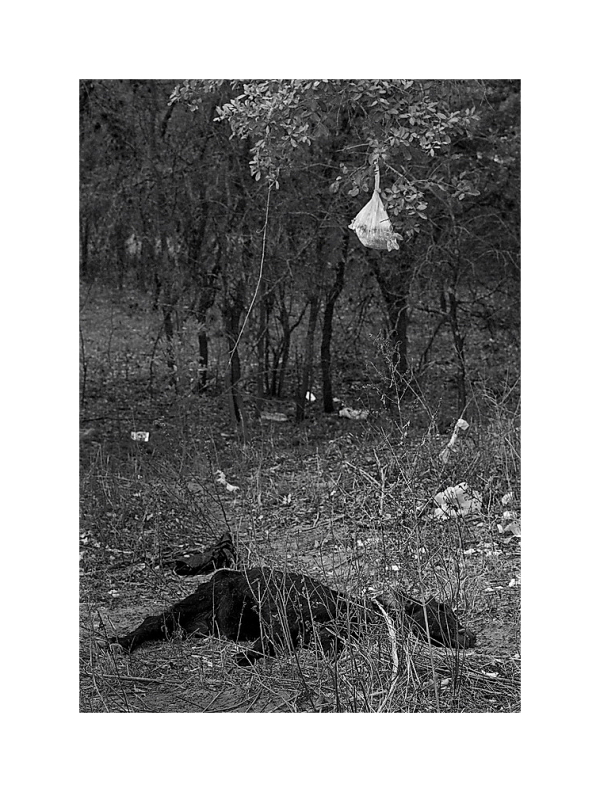 Dead calf and bag haning in tree