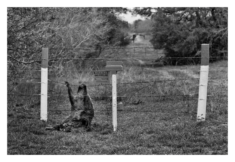 Dead pig tied to barbed wire fence