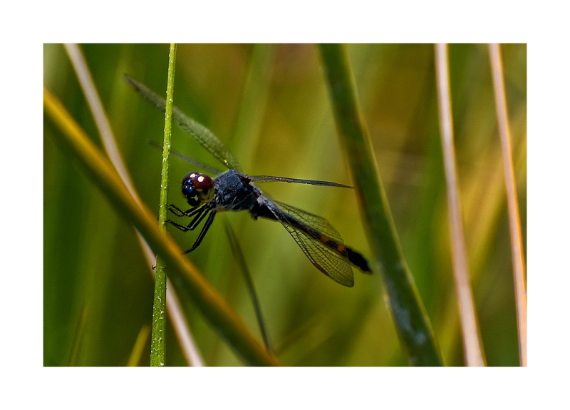 Rockport: Dragon Fly