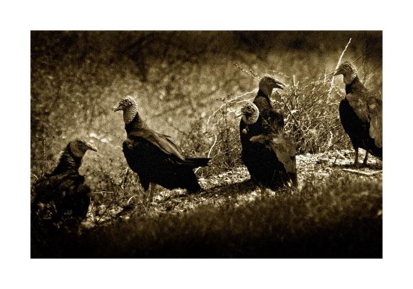 Old Buzzards
