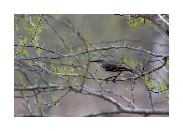 Mockingbird in South Texas Brush