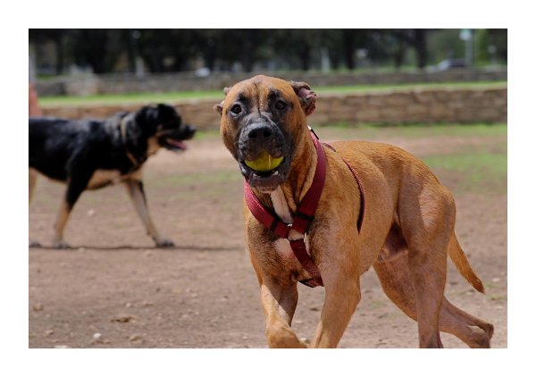 Austin Dog Park Redux: It Takes Balls