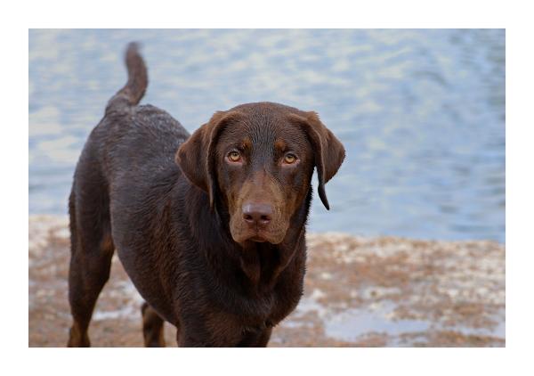 Austin Dog Park Redux: Labrador