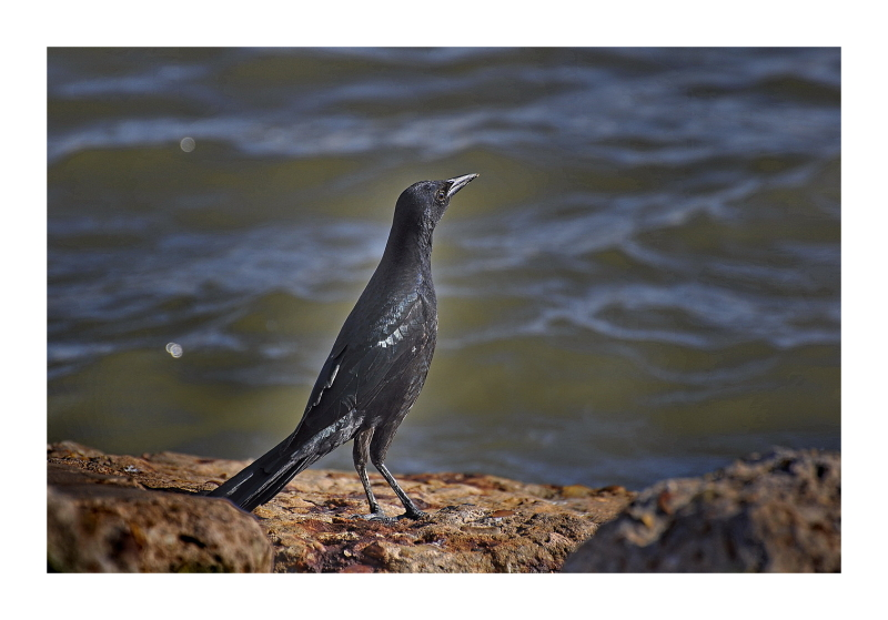 Black Bird on a Rock by the Water