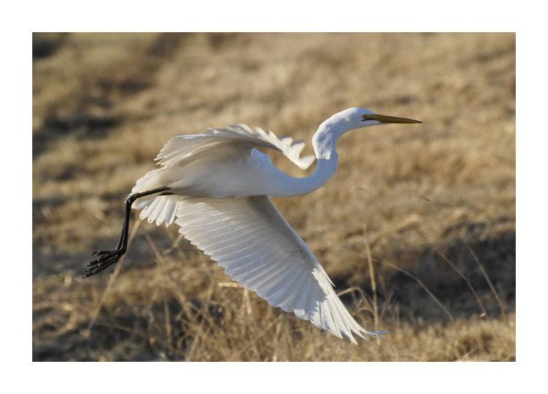Stay My Terror Great White Wings in Flight