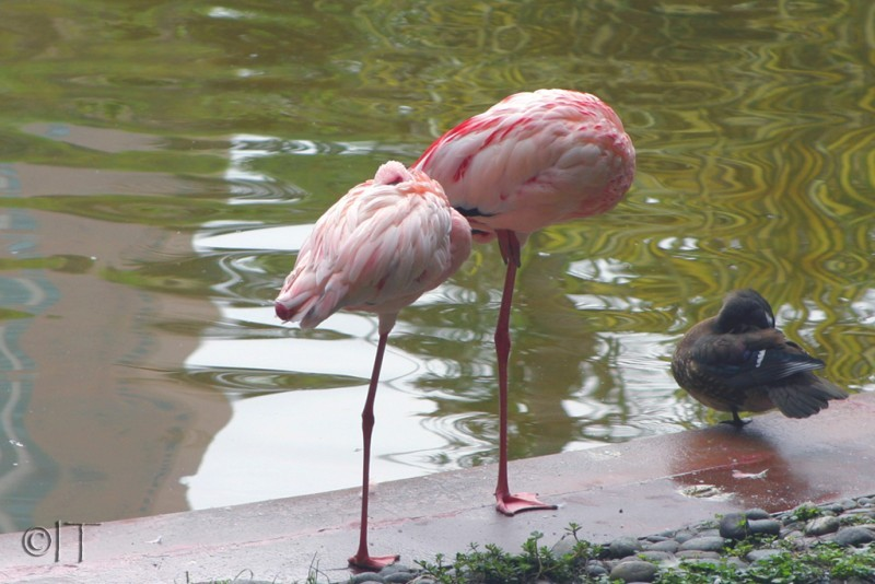 Hong Kong, Kowloon park, Flamingos