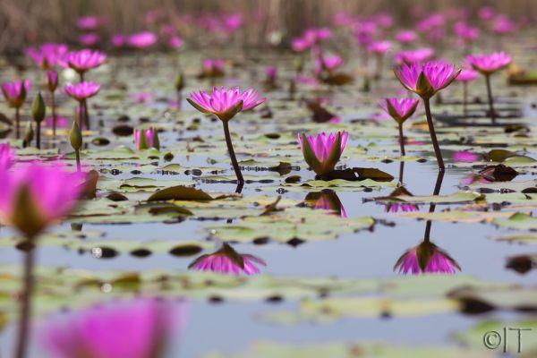 Hong Kong. Lotus