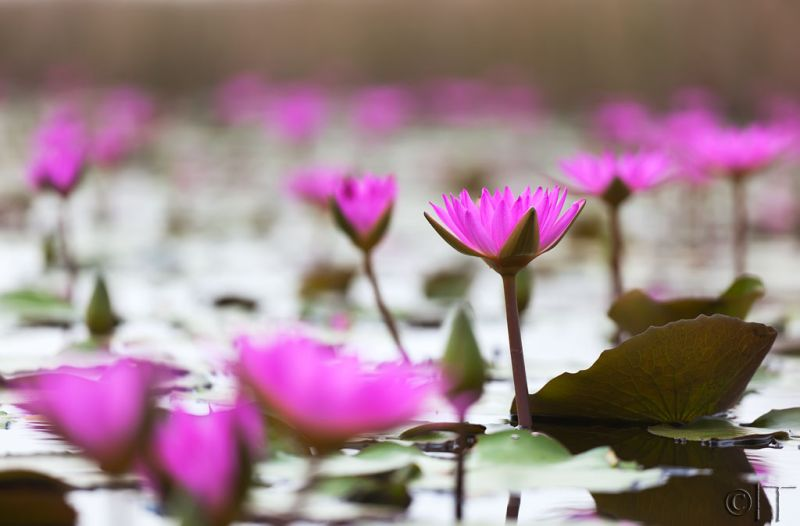 Hong Kong. Lotus.