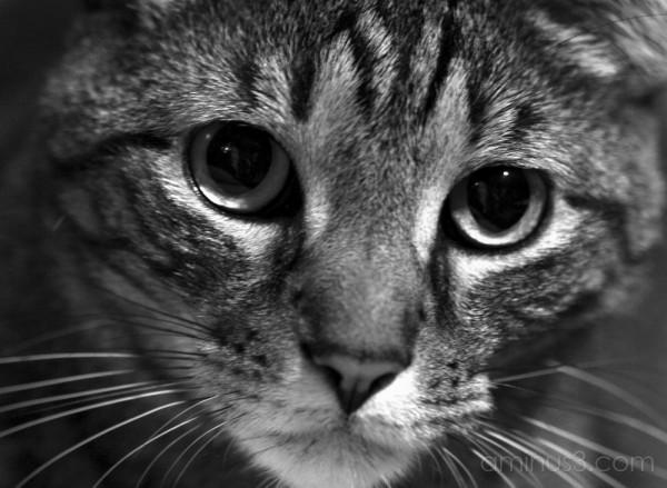 Intense stare of a cat