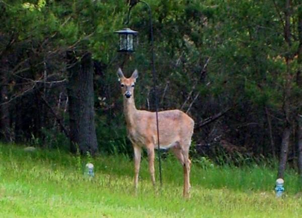 Deer Near Bird Feeder