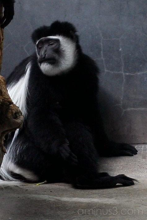 Bored Colobus Monkey