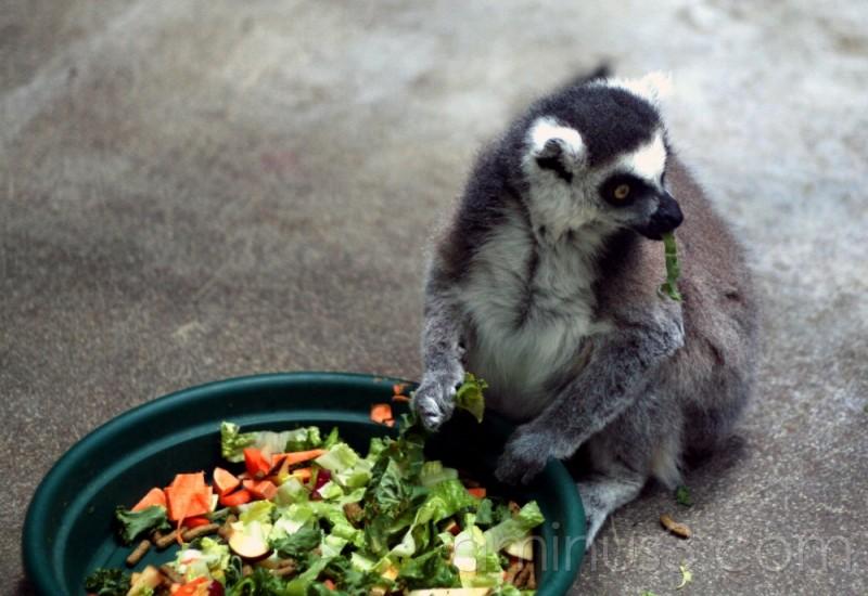 Ring-Tailed Lemur Eating Vegetables