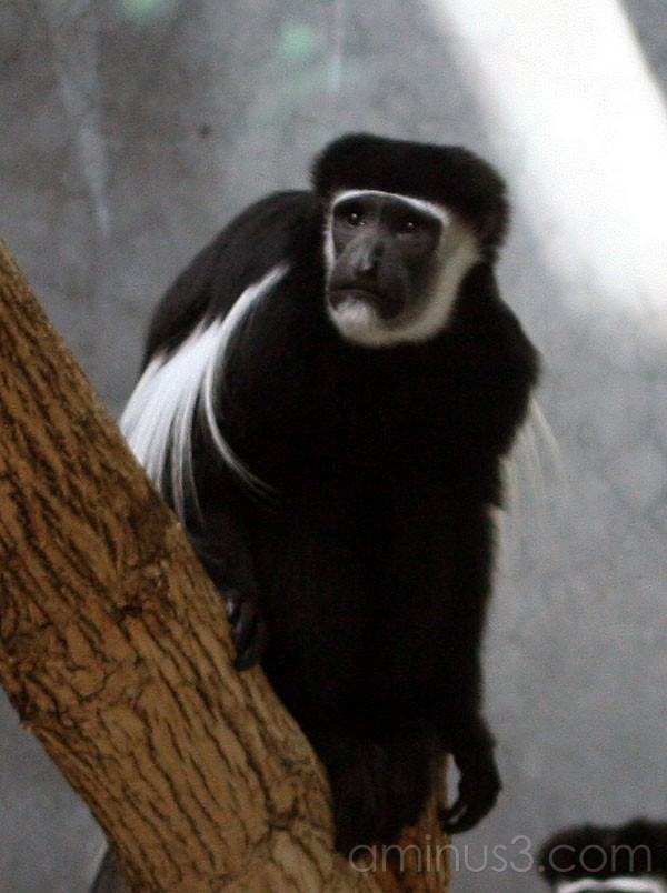 Colobus Monkey At The Zoo