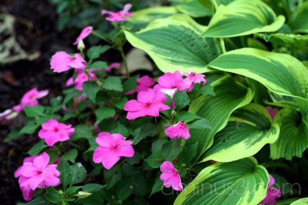Pretty Pink Flowers and Hostas