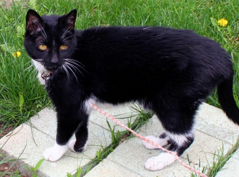 black and white tuxedo cat