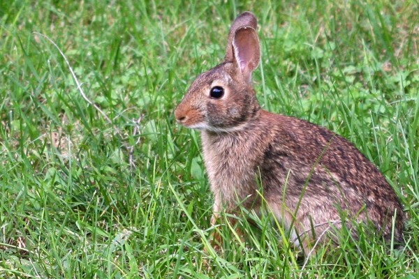 brown wild rabbit