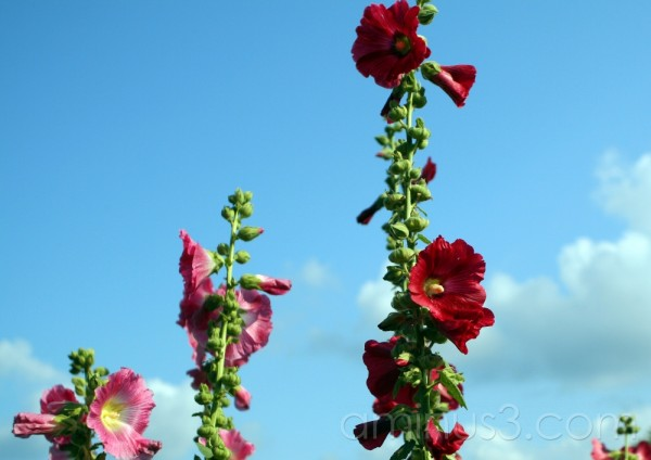 Tall Red Hollyhock Flowers