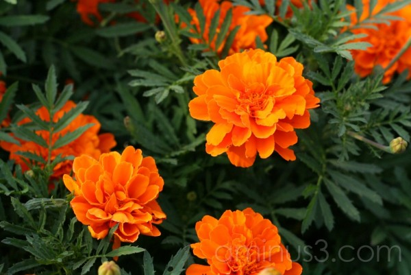 Pretty Orange Marigolds