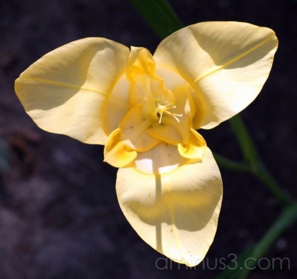 yellow trigidia flower