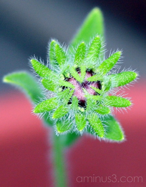 flower bud of unknown plant