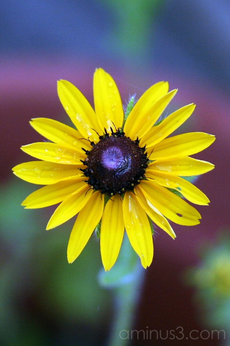 Opening Wildflower