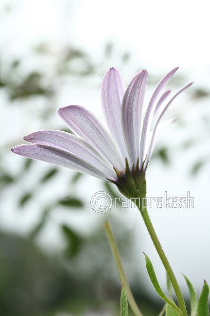 this is it same flower in diffrent angle- my life