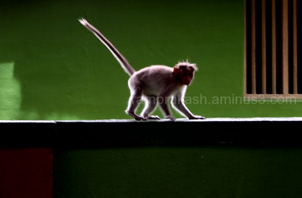 silhouette of a monkey
