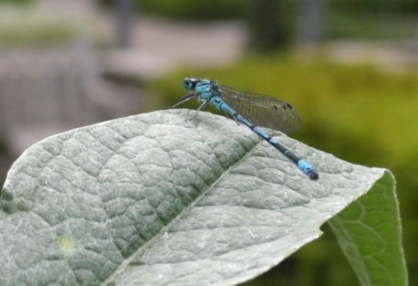 macro dragonfly libellula