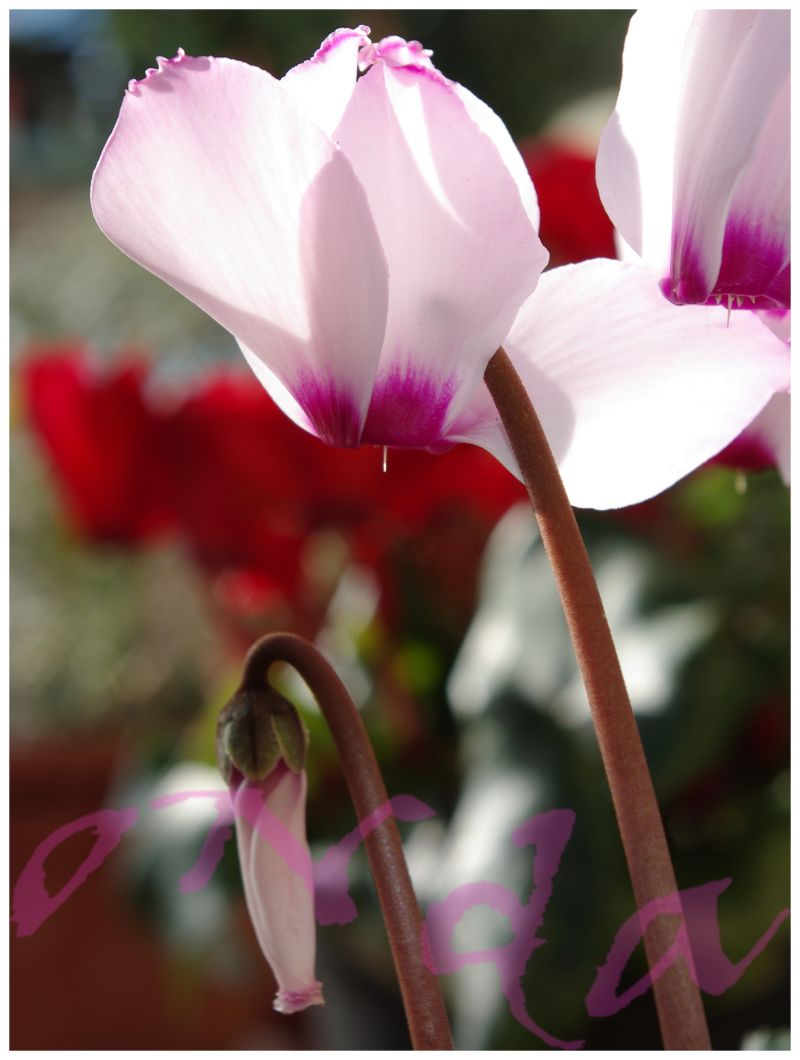 cyclamen blooming in early spring